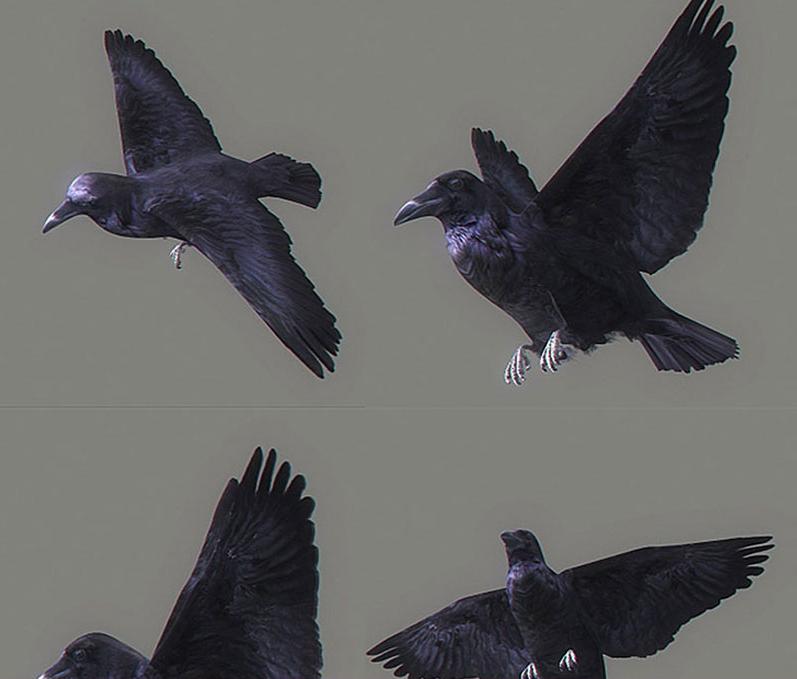 飞翔动物鸟类乌鸦动作C4D模型