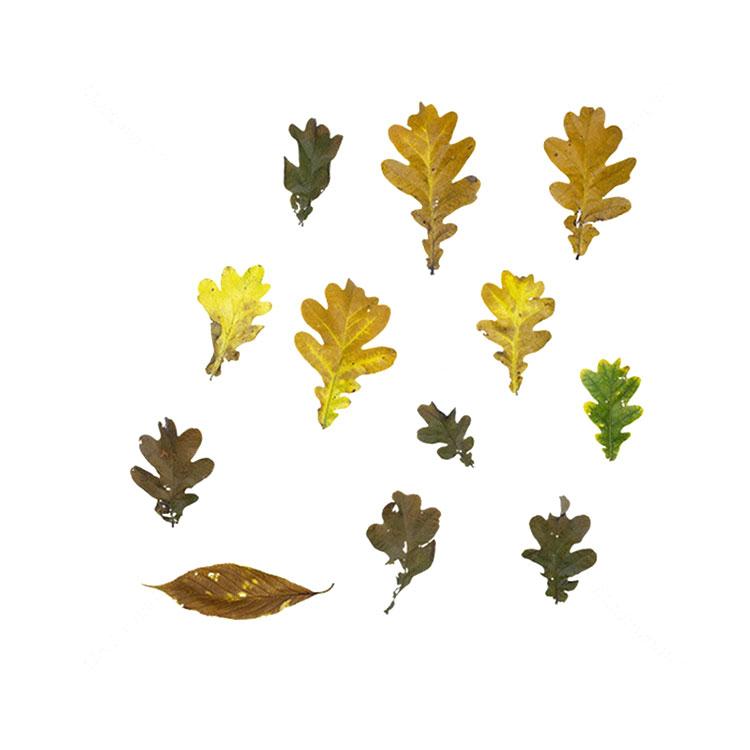 橡树之秋树叶叶子贴图树叶