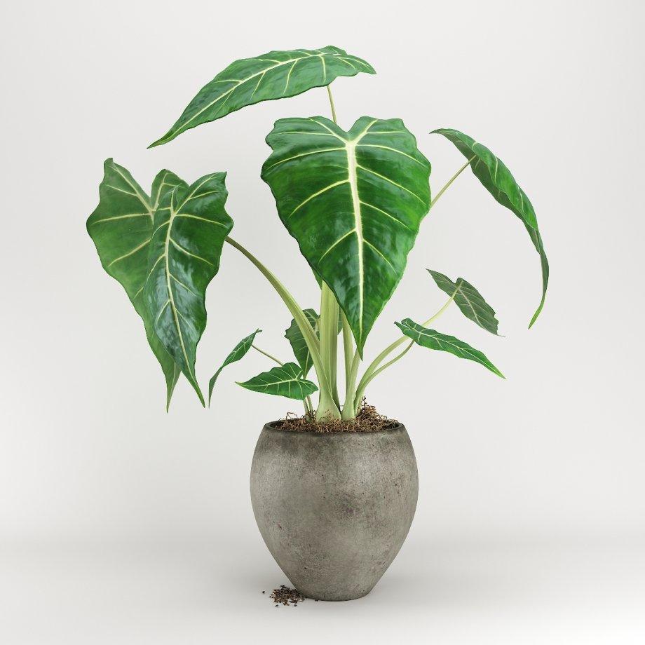 植物盆栽绿植海芋3D模型