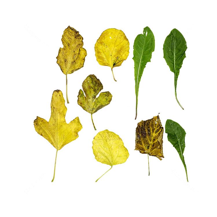 秋季灌木树叶叶子贴图树叶