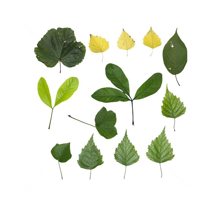 小植物树叶叶子贴图树叶