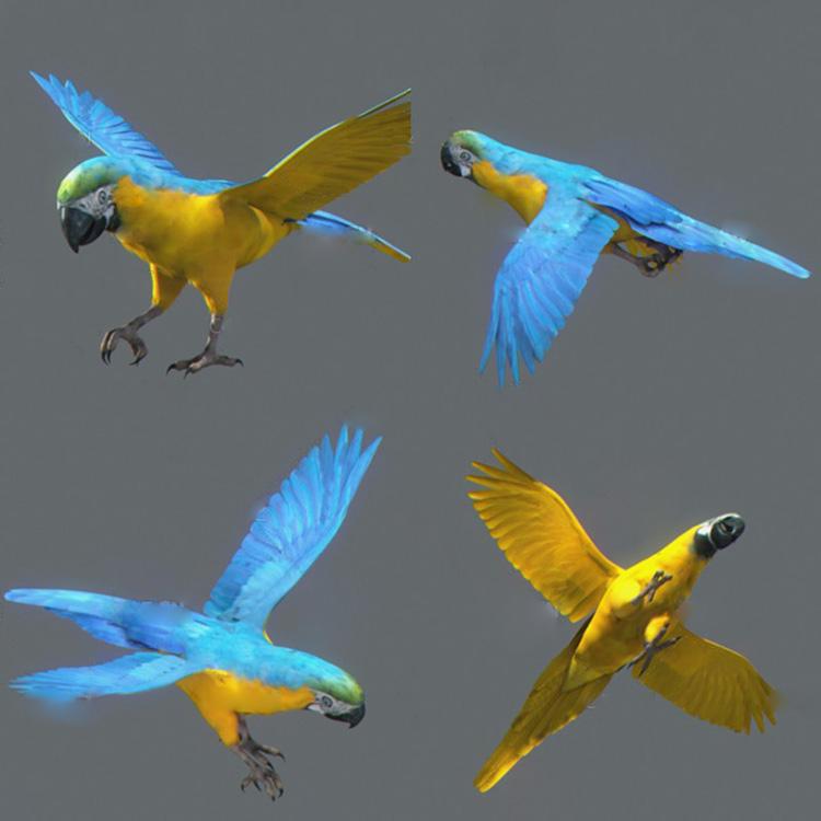 黄鹦鹉动画C4D模型鸟类飞鸟绑定动作创意场景3D模型素材
